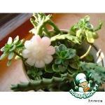 Ромашка садовая из редиса